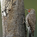 Northern Flicker  by Natural Focal Point Photography
