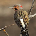 Northern Flicker On Branch by Gail Huddle