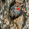 Northern Flicker Pokes His Head Out by Lowell Monke