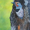 Northern Flicker by Sharon Farber
