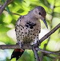 Northern Flicker by Tim Kathka