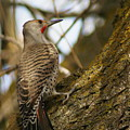 Northern Flicker Woodpecker 1 by Ben Upham III