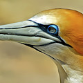 Northern Gannet by Pixabay