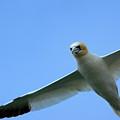 Northern Gannet Flying Through Blue Skies by Sami Sarkis