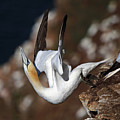 Northern Gannet Taking Off by Maria Gaellman