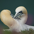 Northern Gannets by Andy Beattie Photography