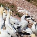 Northern Gannets With A Chick by Les Palenik