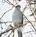 Northern Goshawk by Deborah Benoit