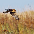 Northern Harrier Female Adult by Sharon Talson