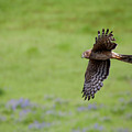 Northern Harrier Fly By by Mike  Dawson