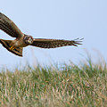 Northern Harrier Hawk Scouring The Field by Jens Lambert