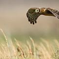 Northern Harrier Hawk Skimming The Fields by Jens Lambert