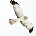 Northern Harrier Hawk, Yukon by Robert Postma