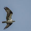 Northern Harrier In Flight by Neil Taitel