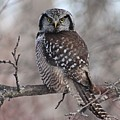 Northern Hawk Owl 9470 by Joseph Marquis