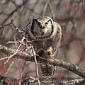 Northern Hawk Owl Having Lunch 9417 by Joseph Marquis