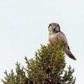 Northern Hawk Owl by Mike Timmons