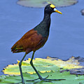 Northern Jacana by Larry Linton