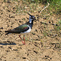 Northern Lapwing by Louise Heusinkveld