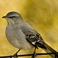 Northern Mockingbird by Chris Lord