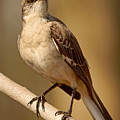 Northern Mockingbird by Theo O'Connor