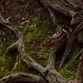 Northern Ohio Chipmunk by Anthony Warner