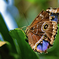 Northern Pearly-eye Butterfly by Joseph Caban