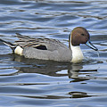 Northern Pintail by Alan Lenk