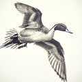 Northern-pintail by Nick Collins