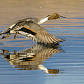 Northern Pintail With Reflection by Judi Dressler