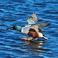 Northern Shoveler Duck Landing by Merrimon Crawford