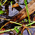 Northern Water Snake by Olga Hamilton