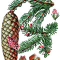 Norway Spruce, Pinus Abies by Bildagentur-online