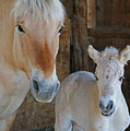 Norwegian Fjord Horse And Colt 1 by Ernie Echols