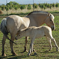 Norwegian Fjord Horse And Colt by Ernie Echols