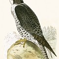 Norwegian Jer Falcon by English School