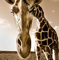 Nosey Giraffe by Frederica Georgia