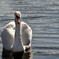 Not Another Swan by Chris Day