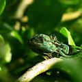 Not Quite Hidden Iguana by Ron Tackett