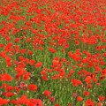 Nottinghamshire Poppies by David Birchall