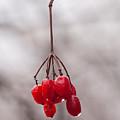 November Reds by Irwin Barrett