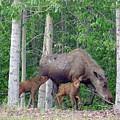 Nursing Moose by Robert Braley