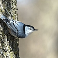 Nuthatch by Bonfire Photography