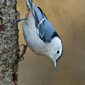 Nuthatch In Profile by Michael Peychich
