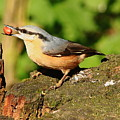 Nuthatch by Jeff Townsend