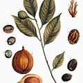 Nutmeg, 1735 by Granger