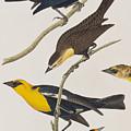 Nuttall's Starling Yellow-headed Troopial Bullock's Oriole by John James Audubon