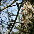 Nuttalls Woodpecker  by DUG Harpster
