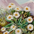 Nz Mountain Daisy by Val Stokes
