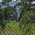 Oak And Vineyard by Wallybird Photography